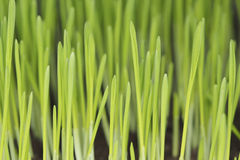 Barley seedlings Stock Images