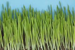 Barley seedlings Stock Images