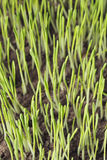 Barley seedlings Royalty Free Stock Photography