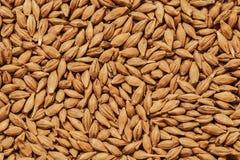 Barley seeds background. Malt seeds background, barley grains, beer ingredient Stock Image
