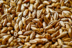 Barley seeds for beer production Stock Photos