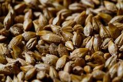 Barley seeds Royalty Free Stock Image