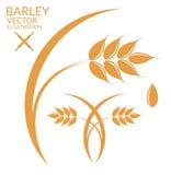 Barley Royalty Free Stock Photo