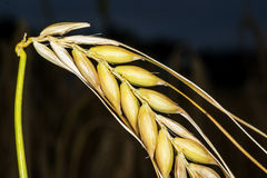 Barley, single head Royalty Free Stock Image