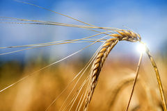 Barley, single head Royalty Free Stock Photo