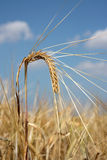 Barley spike against blue sky Stock Photography