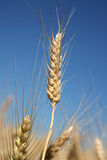 Barley spike against blue sky Royalty Free Stock Image