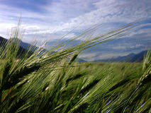 Barley spike on field. In himalayan mountain Stock Image