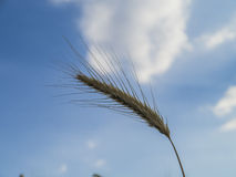 Barley spike Stock Photo
