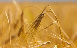 Barley spike Royalty Free Stock Images