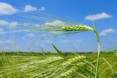 Barley spikelets Stock Photography