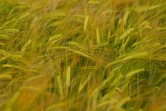 Barley in spring. Field of barley in a rural area Royalty Free Stock Images