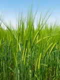 Barley on spring day Stock Image