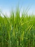 Barley on spring day Stock Image