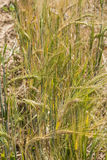 Barley stalks. Group of barley stalks close to harvest time Royalty Free Stock Images