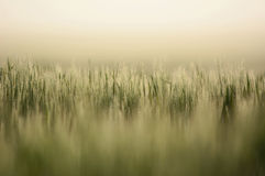 Farmland with Barley, Hordeum vulgar L  during a foggy sunrise Stock Images