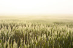 Farmland with Barley, Hordeum vulgar L  during a foggy sunrise Royalty Free Stock Photography