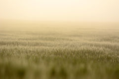 Farmland with Barley, Hordeum vulgar L  during a foggy sunrise Stock Photo