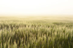 Farmland with Barley, Hordeum vulgar L  during a foggy sunrise Royalty Free Stock Photo