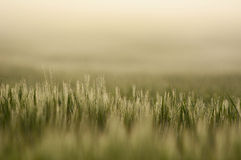 Farmland with Barley, Hordeum vulgar L  during a foggy sunrise Royalty Free Stock Image