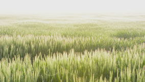 Barley strong backlite from a sunrise on the island Gotland stock footage