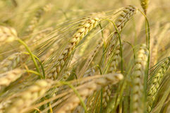 Barley. In the summer time Stock Photography