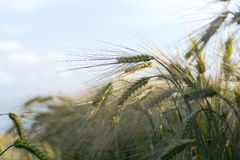 Barley  in a sunny field against the blue sky Stock Image