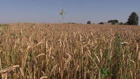 Barley swing on wind in countryside. Agriculture view in village stock footage