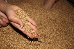 Barley taken by a woman. In a fabric Stock Photos
