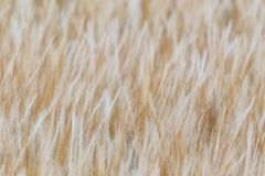 Barley texture a detail stock photo