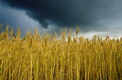 Barley under dramatic sky Stock Photo