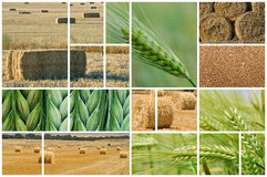 Barley and wheat. Stock Images