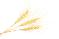 Barley or wheat Stock Photo