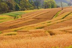 Barley wheat field landscape. Wheat field landscape dry yellow royalty free stock photo