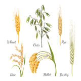 Barley, wheat, rye, rice, millet and green oat. Vector illustration Stock Photo