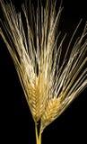 Barley Stock Image