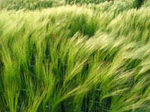 Barley in the wind. Movement Royalty Free Stock Image