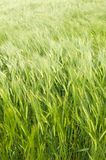 Barley in the wind Stock Photos