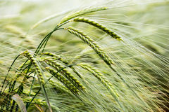 Barley. Wind bowed barley kissed by sunlight royalty free stock image