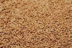 Barleycorn seeds close up. Barley seeds background, pile of malt grains Royalty Free Stock Photography