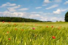 Barleyfield e papaveri di cereale Fotografia Stock
