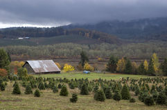 Barn. With a field with farm animals. Christmas tree farm and thick clouds also included Royalty Free Stock Photography