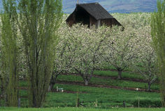 Barn in an apple orchard in spring Stock Image