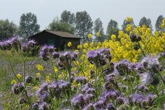 A barn and blooming coleseed and phacelia. royalty free stock photography