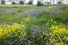 A barn and blooming coleseed and phacelia. stock photos