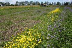 A barn and blooming coleseed and phacelia. A barn and blooming coleseed and phacelia in the park at the countryside in the village Zuidland on a sunny day in stock images