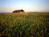 Barn & Canola Field. A barn in a field of canola royalty free stock photos