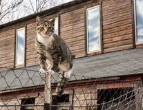 Barn cat balancing on a fence. Farm kitten on a chain link fence Stock Image