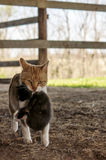 Barn cat carrying kitten Royalty Free Stock Photo