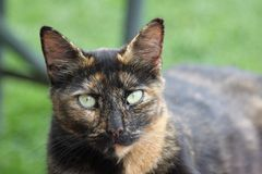 Barn cat with light green eyes. This black brown and tan barn cat lays outside on a picnic table bench, and stares with piercing haunting light green eyes Royalty Free Stock Photography